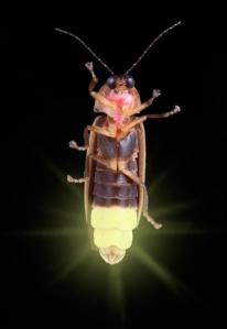 poze plante animale insecte licurici bioluminiscente lumina vie vietuitoare lumineaza natura salbaticie mediul inconjurator ecologie utilizatea vietii plantelor animalelor salbatice, ceicunoi.wordpress.com