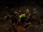 poze plante animale larve insecte bioluminiscente fenomen lumina vie vietuitoare lumineaza natura salbaticie mediul inconjurator ecologie utilizatea vietii plantelor animalelor salbatice, ceicunoi.wordpress.com