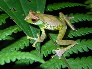 Specii animale plante noi nou descoperite in Marele Mekong, Asia sud est, broasca verde Gracixalus_quangi_(Vietnam)_© Jodi J. L. Rowley