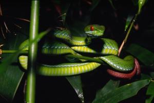 Specii animale plante noi nou descoperite in Marele Mekong, Asia sud est, sarpe Trimeresurus_rubeus_(Vietnam and Cambodia)_3_© Peter Paul van Dijk_Darwin Initiative