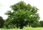 Stejarul societatii noastre. Comparatie sistem social uman - un copac stufos cu frunze verzi stejar tulpina societatea romaneasca omul cum sunt oamenii romanii situatia romaniei dezastrul din societate