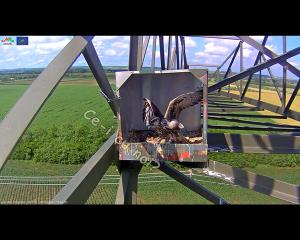 imagini poze web cam live camera soim dunarean pe stalp cuib artificial video non stop conservare specii salbatice protectia pasarilor inmultirea specii protejate rare oua si pui in amplasare cuib 17