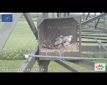 imagini poze web cam live camera soim dunarean pe stalp cuib artificial video non stop conservare specii salbatice protectia pasarilor inmultirea specii protejate rare oua si pui in cuib 2014 18