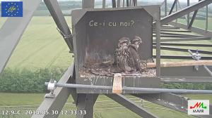 imagini poze web cam live camera soim dunarean pe stalp cuib artificial video non stop conservare specii salbatice protectia pasarilor inmultirea specii protejate rare oua si pui in cuib 2014 19