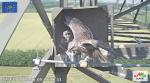 imagini poze web cam live camera soim dunarean pe stalp cuib artificial video non stop conservare specii salbatice protectia pasarilor inmultirea specii protejate rare oua si pui in cuib x2