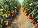 solarii solar sera sere legume fructe flori plantare cultivare rasaduri gradina camp incalzite iluminat artificial tunel hrana sanatoasa din piata nu supermarket rosii castraveti salata vinete dovlecei 8