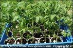 solarii solar sera sere legume fructe flori plantare cultivare rasaduri gradina camp incalzite iluminat artificial tunel hrana sanatoasa din piata nu supermarket rosii castraveti salata vinete dovlecei 13