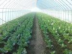 solarii solar sera sere legume fructe flori plantare cultivare rasaduri gradina camp incalzite iluminat artificial tunel hrana sanatoasa din piata nu supermarket rosii castraveti salata vinete dovlecei 6
