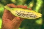 """Cum arată o banană normală, """"sălbatica"""" - are semințe!"""