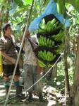 cultura plantatie banane Costa Rica  Delmonte port Moin Cat de toxice nocive bananele chimicalele folosite în culturile industriale coacerea artificială în depozite