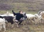 ferma de capre barsauta colt de rai blog casa si gradina viata hrana sanatoasa branza lapte libertate viata simpla la sat tara oras gospodarie traditionala 6