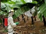 Stropirea culturilor de banane cu chimicale