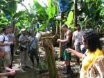 Plantație banane