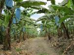Plantatie banane